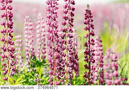 Flowers Of Pink And Red Lupin On The Field In Natural Sunlight.