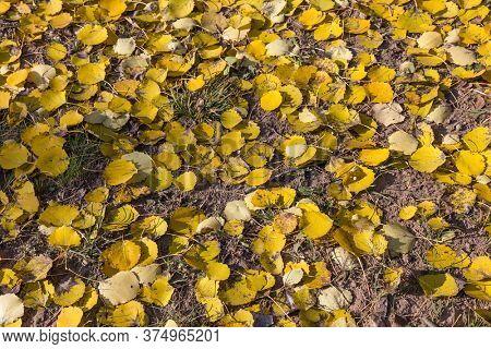 Dead foliage of European aspen (Populus tremula) in autumn. Natural yellow textured background.
