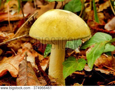 Amanita Phalloides, Also Known As The Deathcap Mushroom As Lethally Poisonous Even In Small Doses