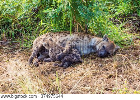 Hyena spotted feeds her newborn babies with her milk. The Kruger Park. Animals live and move freely in the green bushes. South Africa. The concept of active, extreme and photo tourism