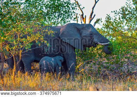 The herd of African savannah elephants. Desert Acacia Thickets. The Kruger Park. Sunset. South Africa. Animals live and move freely in the savannah. The concept of exotic and photo tourism