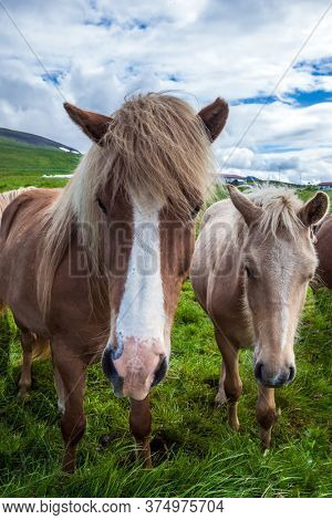 Dream trip to Iceland. Portraits of two horses. Beautiful and kind horses of a unique Icelandic breed. Golden summer sunset. Icelandic tundra. Ecological, active and photo tourism concept