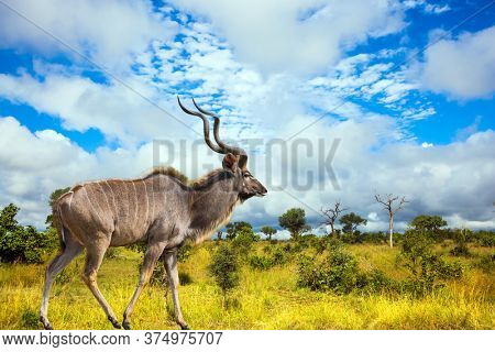 Huge kudu male with long horns grazes in a bush among acacias and green grass. Animals live and move freely in the savannah. Kruger Park. South Africa. The concept of ecological and photo tourism
