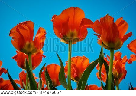 Tulip Reddish Yellow Flowers Garden Spring Background, Pattern Or Texture.