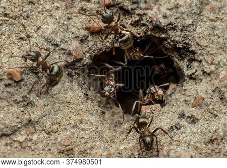 Ants Clean An Ant Hill, Team Work Of Meadow Ants (formica Pratensis) On Cleaning And Protecting An A