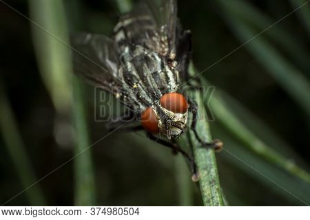 Housefly Or Indoor Fly (musca Domestica, A Species Of Short-winged Diptera From The Family Real Flie