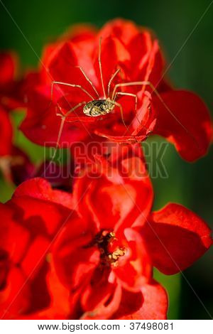 Daddy Longlegs Spider On Red Flowers