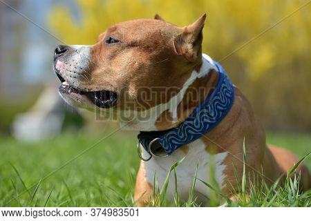 American Staffordshire Terrier Lies In The Grass