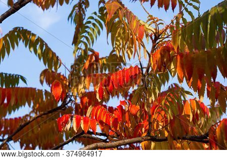 Autumn Red And Yellow Colors Of The Rhus Typhina, Staghorn Sumac, Anacardiaceae, Leaves Of Sumac On
