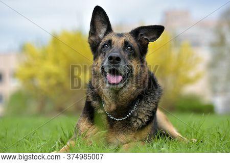 Portrait Of An Old German Shepherd