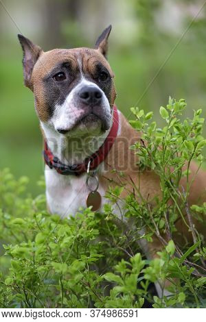 American Staffordshire Terrier Outdoor Portrait Close Up