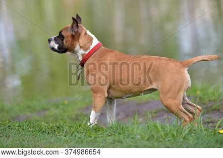 American Staffordshire Terrier Outdoor Portrait In Summer Park