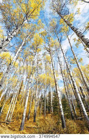 Birch tree closeup in Jasper National Park in Canada