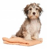 A wet chocolate havanese puppy dog after bath is sitting on a peach towel isolated on white background poster