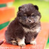 Portrait of a little fluffy Pomeranian puppy poster