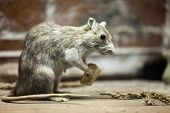 Rodent rat animal holding piece of bread food poster
