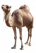 isolated single hump camel with clipping path poster