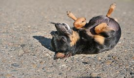 Toy Terrier Dog Laying On A Ground On A Back. Cute Little Dog Under Sunshine. Toy Terrier Getting Re