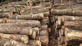 Pile of logs at lumber yard. Wood from forest cut down. Timber industry