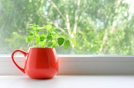 Fresh Green Basil Grows In A Red Mug On A Windowsill. Home Garden. Copy Space.