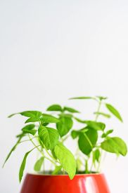 Fresh Green Basil Growing In A Red Mug On A Light Background, Natural Light. Home Garden. Copy Space