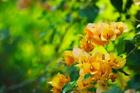 Bougainvillea Yellow Color White Pollen Blooming In The Garden In Rainy