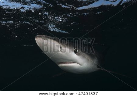 Blue shark face