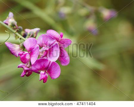 Flowers Of Lathyrus Tuberosus.
