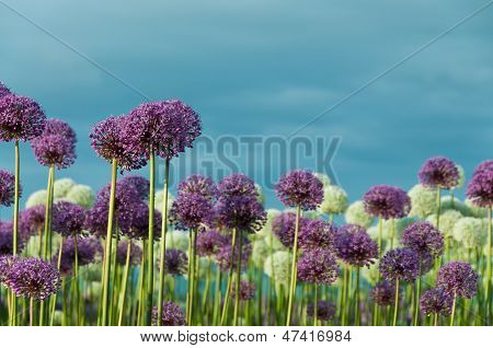 A Field of Allliums and Cloudy Blue Sky