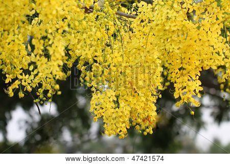 Cassia Flower In Summer