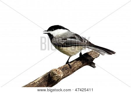 Isolated Chickadee On A Stump