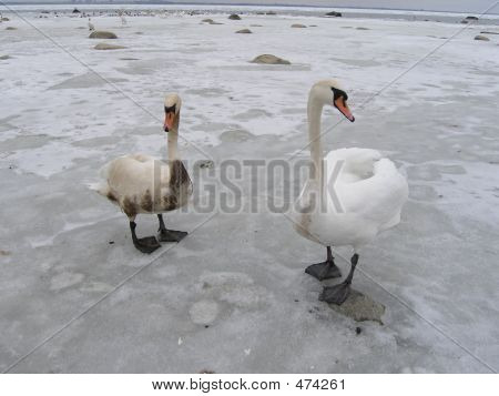 Two Swans, One Is Covered With Oil