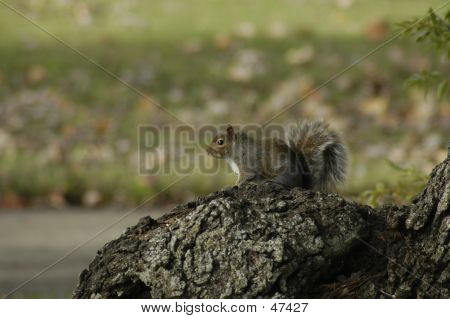 Grey Squirrel on a tree stump poster