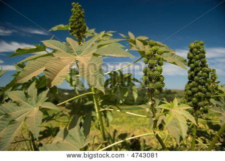 Castor Seed