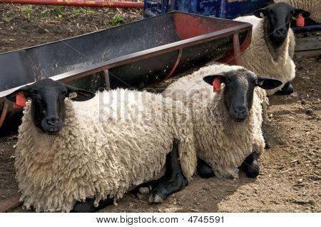 Sheep @ Trough