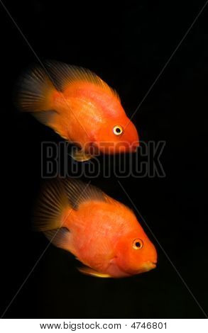 Two Blood Parrot Cichlids Swimming In Aquaria.