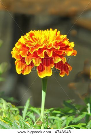 brown and yellow flower of marigold flower close up