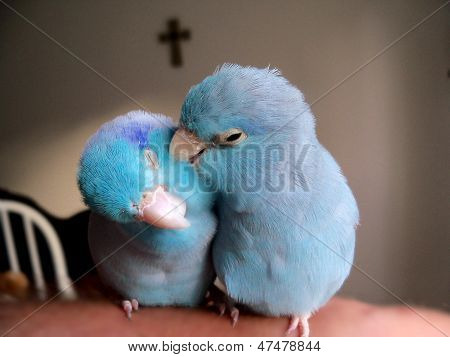 Pacific Blue Parrotlet Birds Grooming