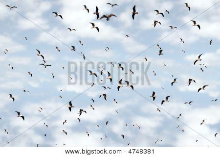 Flocks Of Gulls