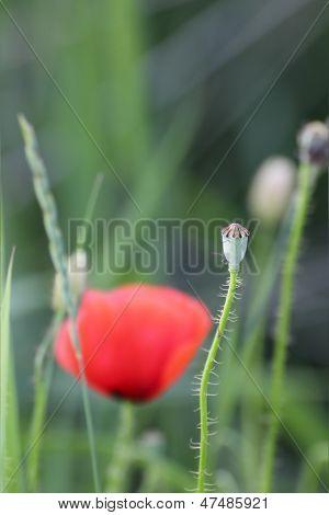 Wild Poppy Green Capsule