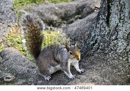 Park Squirrel