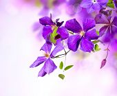 Clematis Flower. Violet Clematis Flowers Art Border Design poster