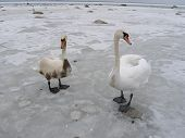 two swans, one is covered oil from tanker accident ** Note: Slight graininess, best at smaller sizes poster