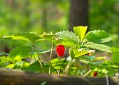 Wild strawberry berry growing in natural forest poster