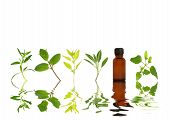 Herb leaf sprigs of hyssop mint marjoram sage and bergamot and an aromatherapy essential oil bottle with reflection in rippled water over white background. poster