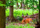 Whitetail Deer Buck In Velvet bedded down in the woods. poster