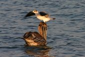 seagull sitting on top of a pelican in the ocean poster
