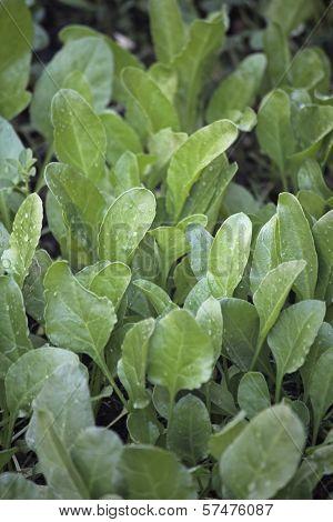 Spinach, Spinacia Oleracea