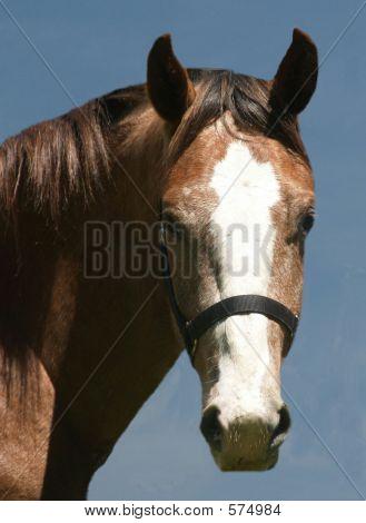 Horse Head Shot