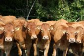 An inquisitive row of Limousin cows stand facing the camera poster